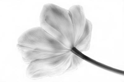 Black And White Tulip Art Print