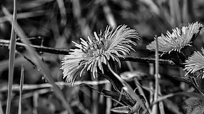 Tash Photograph - Black And White Tussilago Farfara Sign Of Spring. by Leif Sohlman