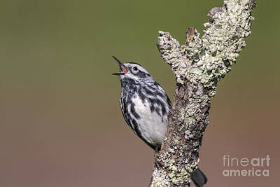 Photograph - Black And White Warbler by Jim Zipp