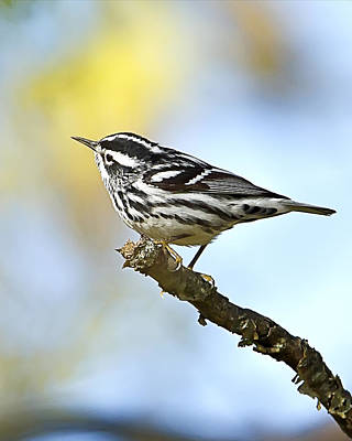Photograph - Black And White Warbler by John Vose