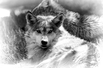 Mexican Wolf Photograph - Black And White Wolf Stare by Dan Sproul