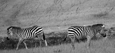 The White Stripes Photograph - Black And White Zebras by Dan Sproul