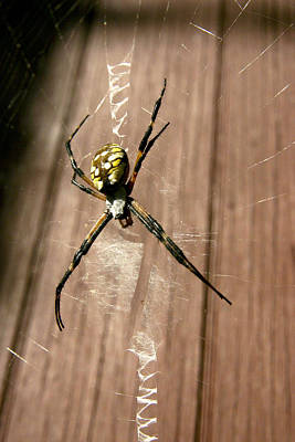 Photograph - Black And Yellow Argiope by Robert Camp