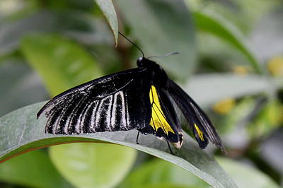 Photograph - Black And Yellow Mormon by Trent Mallett