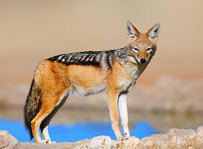 Black Stand Photograph - Black-backed Jackal by Johan Swanepoel
