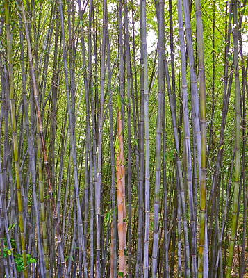 Photograph - Black Bamboo by Eve Spring