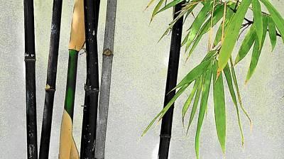 Photograph - Black Bamboo #3 Sarasota by Strangefire Art       Scylla Liscombe