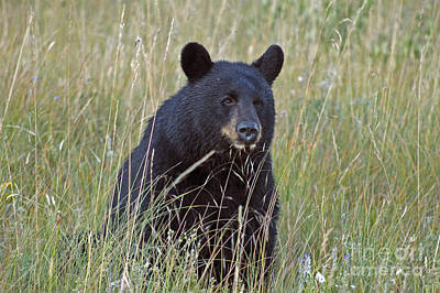 Photograph - Black Bear  - Near Glacier by Cindy Murphy - NightVisions