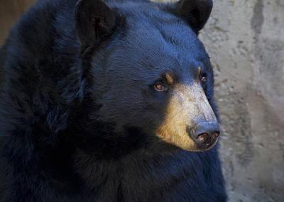 Photograph - Black Bear 2 by Chris Dutton