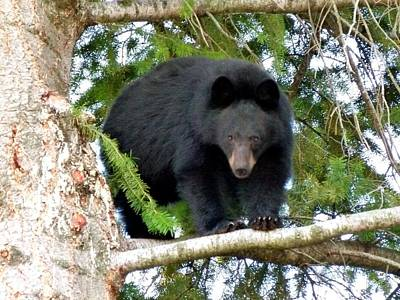 Photograph - Black Bear 2 by Will Borden