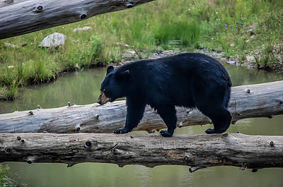 Photograph - Black Bear by Bianca Nadeau