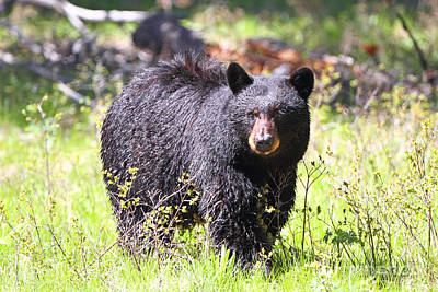 Photograph - Black Bear by Bill Singleton