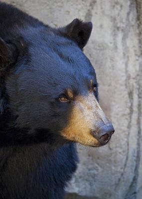 Photograph - Black Bear by Chris Dutton