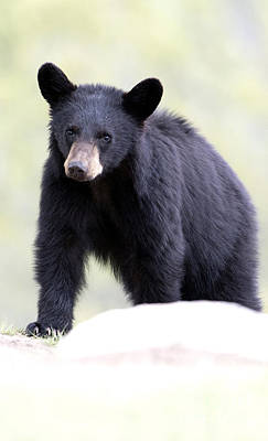 Photograph - Black Bear Cub by Deby Dixon