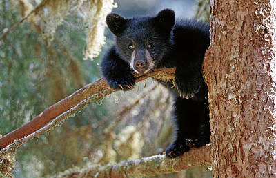 Sitting Bear Photograph - Black Bear Cub Hanging Out In Tree Anan by Thomas Sbampato