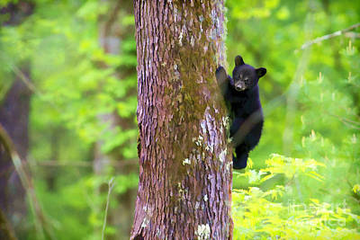 Black Bear Cub In Tree Art Print by Dan Friend
