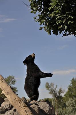 Photograph - Black Bear Cub by Lee Kirchhevel