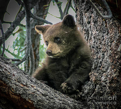 Black Bear Cub Art Print