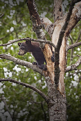 Black Bear Cub Outside Of Orr Minnesota Art Print by Randall Nyhof