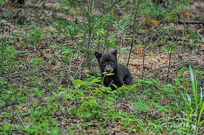 Photograph - Black Bear Cub Tasting Leaf by Dan Friend