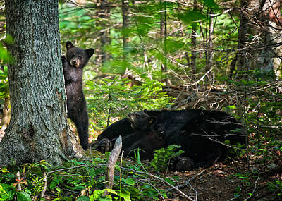 Photograph - Black Bear Cubs Stand Watch While Momma Bear Sleeps. by Jeff Sinon