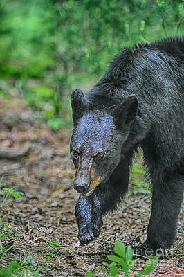 Photograph - Black Bear Digging For Food by Dan Friend