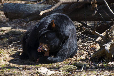 Of Bear Photograph - Black Bear Digs In by Chris Flees