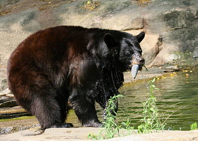 Photograph - Black Bear Fishing by Angela Rath