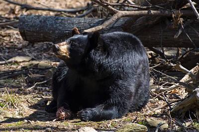 Black Bear Guarding Food Original