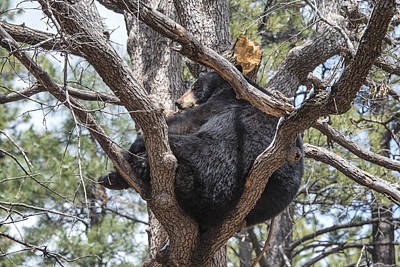 Photograph - Black Bear In A Tree by Jim Vallee