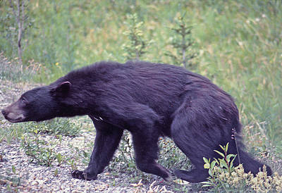 Photograph - Ma-243-black Bear In The Rockies by Ed  Cooper Photography