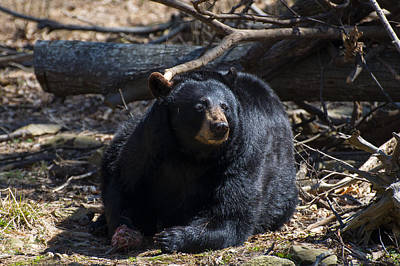 Photograph - Black Bear Looking Left Guarding Food by Chris Flees