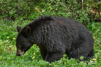 Photograph - Black Bear Mama by Charles Kozierok