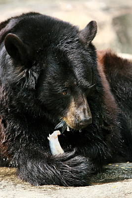 Photograph - Black Bear Portrait by Angela Rath