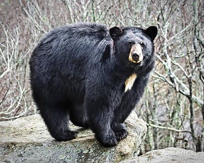 Photograph - Black Bear  by Ronald Lutz