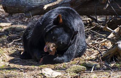 Digital Art - Black Bear Second Bite by Chris Flees