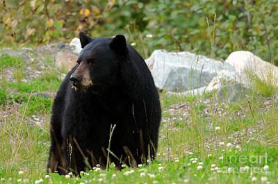 Photograph - Black Bear  by Sharon Talson