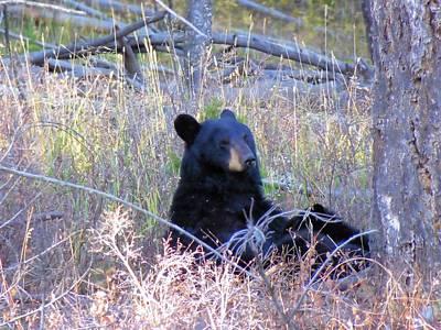 Black Bear Sow Nursing Her Cubs Art Print