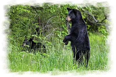 Photograph - Black Bear Standing Upright  by Dan Friend