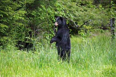 Photograph - Black Bear Standing Upright Looking by Dan Friend