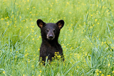 Photograph - Black Bear by Stephen J Krasemann
