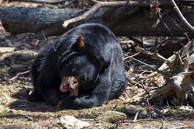 Black Bear Success  Original