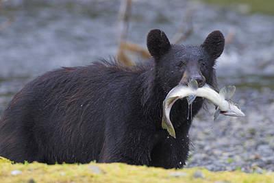 Photograph - Black Bear With Pink Salmon by Milo Burcham