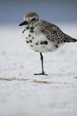 Photograph - Black-bellied Plover by John F Tsumas