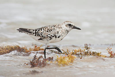 Plover Photograph - Black-bellied Plover (pluvialis by Larry Ditto