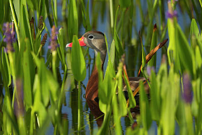 Pickerel Photograph - Black-bellied Whistling Duck by Maresa Pryor