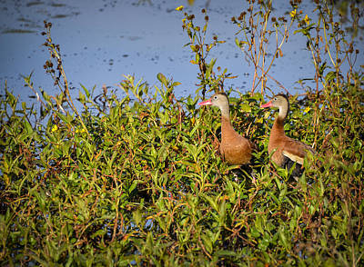 Photograph - Black-bellied Whistling Ducks by Carolyn Marshall