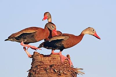 Photograph - Black Bellied Whistling Ducks by Ira Runyan