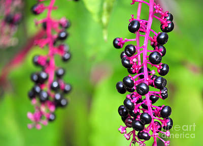 Photograph - Black Berries by Staci Bigelow