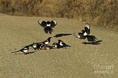 Black-billed Magpies At Roadkill Art Print by Ron Sanford